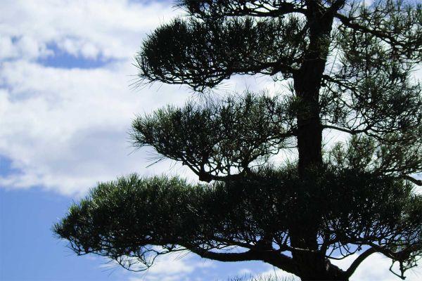 pine1-7D448BDF6-2CDF-0FC2-D176-EBB8D75DC246.jpg