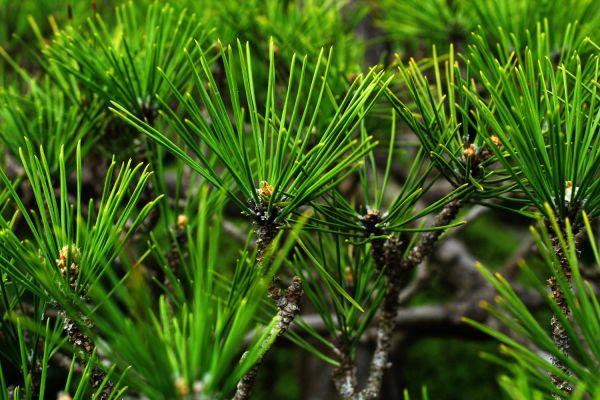 pine2-50A59A839-C9F2-B808-7F0A-A7BBE28937BB.jpg