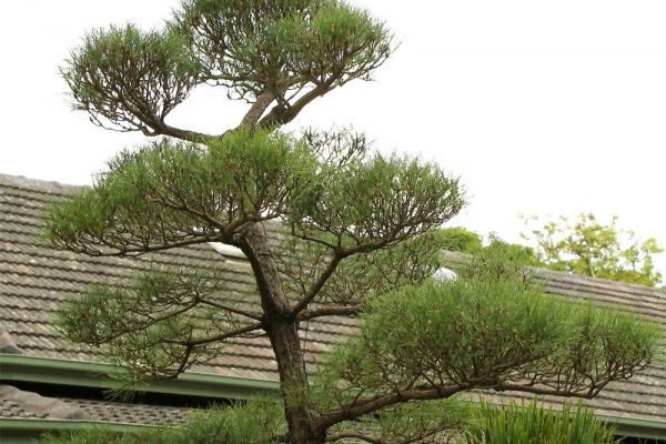 pine3-574179490-E2CB-5E3D-7DF7-BF1FA45CF8A4.jpg
